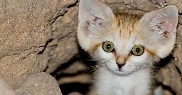 Ce chat reste chaton toute sa vie… Pourtant, vous ne pourrez jamais l'avoir chez vous...