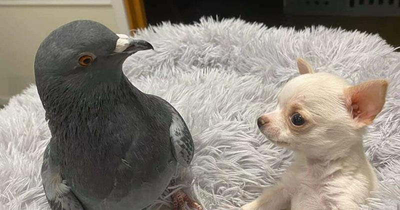 Lundy le chihuahua et Herman le pigeon, deux amis inséparables