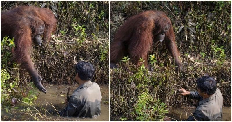 Un orang-outan tend sa main à un écologiste qu'il pensait en danger dans une rivière