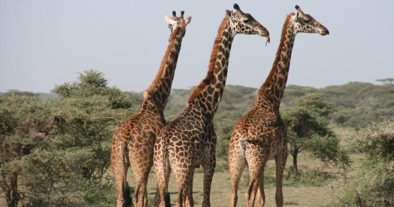 Trois girafes de Rothschild, une espèce très rare, sont mortes électrocutées dans une réserve naturelle du Kenya