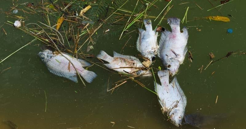 En Australie, des centaines de milliers de poissons d'eau douce retrouvés morts
