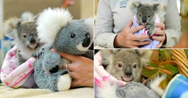 Alors qu'il vient de perdre sa maman, ce bébé koala se console en s'accrochant à une peluche qui lui ressemble