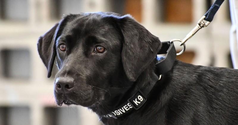 Un chien viré de la CIA parce qu'il ne voulait plus renifler de bombes