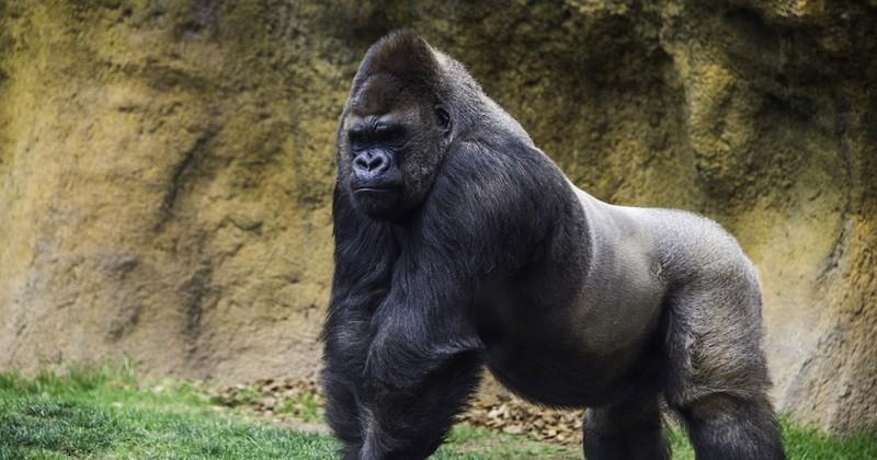 Nés au zoo de Beauval, deux gorilles vont retrouver la nature au Gabon