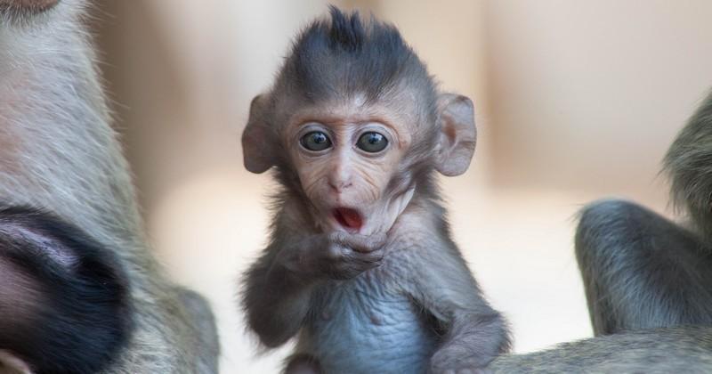 Volkswagen épinglé à nouveau, cette fois pour avoir forcé dix singes à inhaler du gaz lors d'une étude...