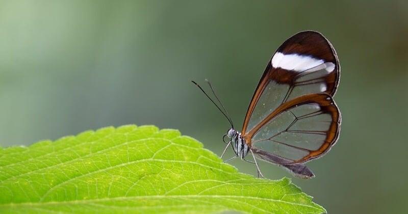 papillon zeugma aile odas