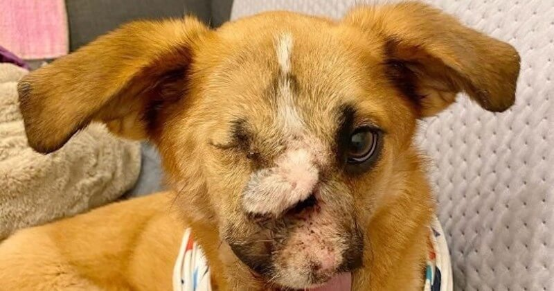Défigurée à cause des balles, cette chienne trouve un nouveau foyer au Royaume-Uni