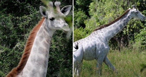 Des scientifiques du Parc Taranguire (Tanzanie) ont récemment découvert la présence d'une girafe blanche, une espèce très rare