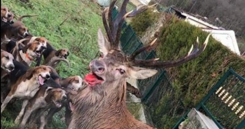 Dans l'Oise, un cerf sauvé par les riverains alors qu'il était encerclé par des chiens de chasse et blessé à la patte
