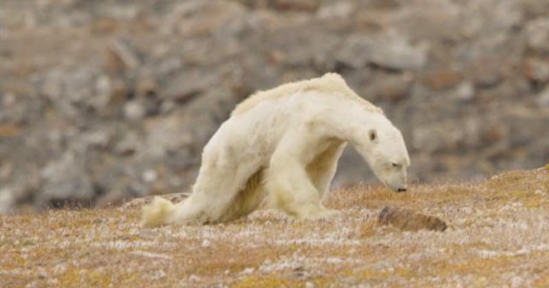 Cet ours polaire amaigri et affamé devient un symbole triste du réchauffement climatique
