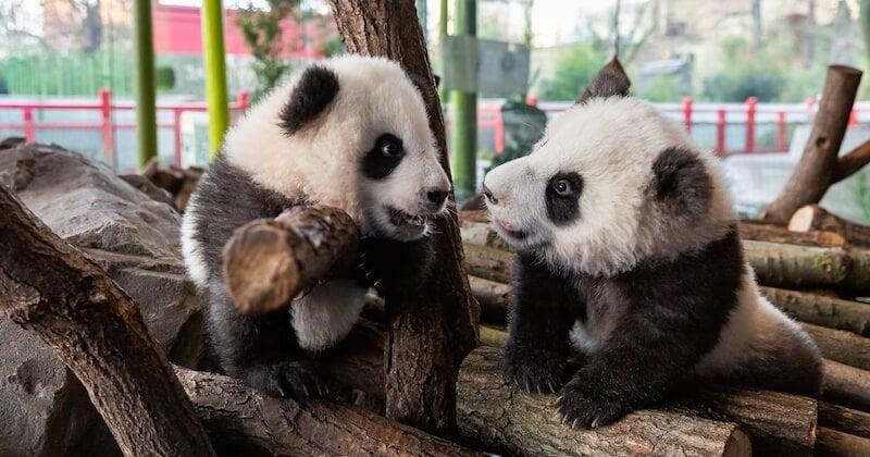 Les deux bébés pandas du zoo de Berlin enfin présentés au public