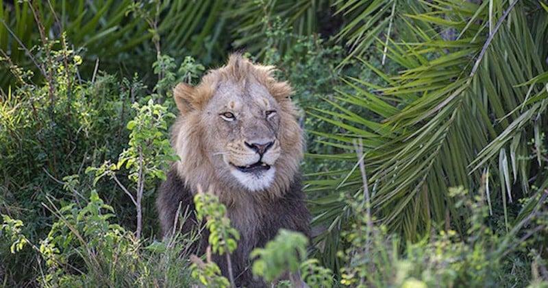 Un photographe surpris par un lion qui rugit fort devant lui, avant de lui sourire avec un clin d'oeil