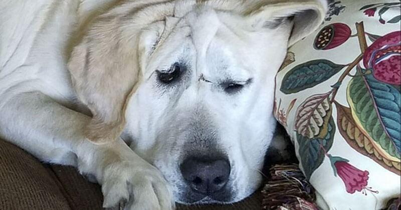 Abandonné deux fois à cause de son apparence, ce chien avec une déformation faciale a trouvé un foyer aimant