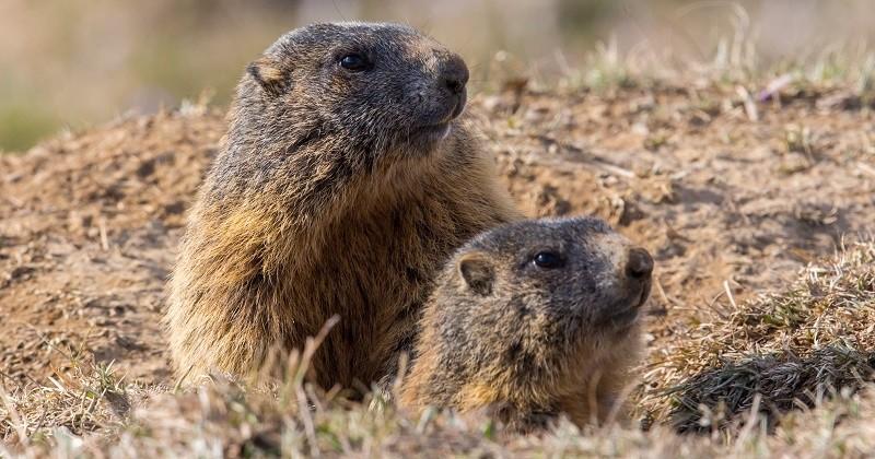 Savoie: un projet de piste de ski menace d'enterrer des marmottes en hibernation