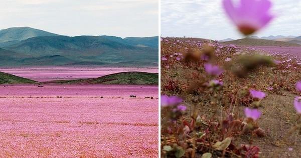 Suite à des intempéries, ce désert aride et dangereux au Chili est devenu un endroit absolument magique !