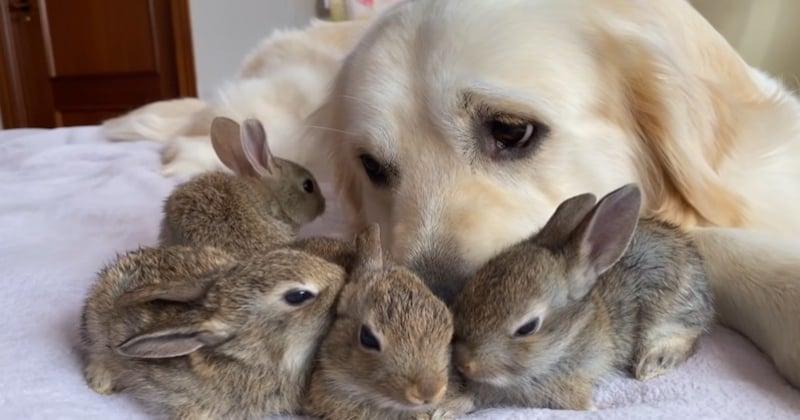 Ces bébés lapins considèrent ce golden retriever comme leur père