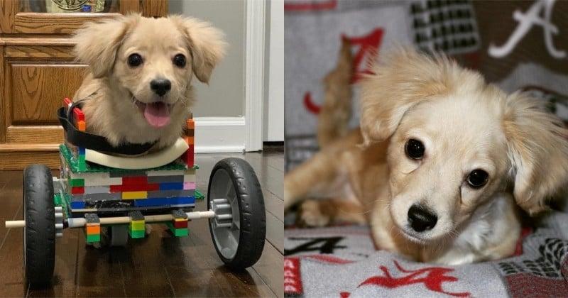 Un enfant de 12 ans fabrique un fauteuil roulant en Lego pour un chien handicapé