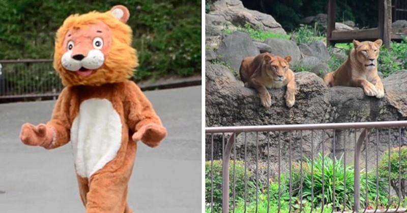 Un zoo japonais teste sa sécurité avec un homme déguisé en lion, sous le regard perplexe de vrais lions