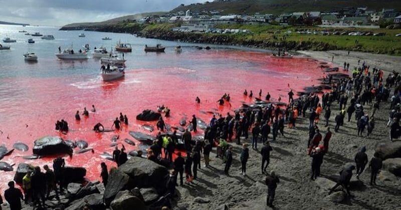 Grindadráp : le massacre annuel de dauphins aux Îles Féroé perpétue sa tradition