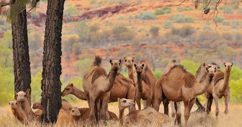 Australie : 10 000 dromadaires sauvages seront abattus par des snipers