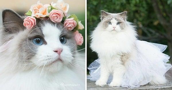 Faites la connaissance d'Aurora, la princesse des chats, majestueuse et câline !