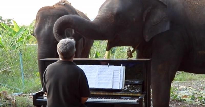 Un retraité joue des symphonies au piano pour les éléphants âgés, blessés ou handicapés