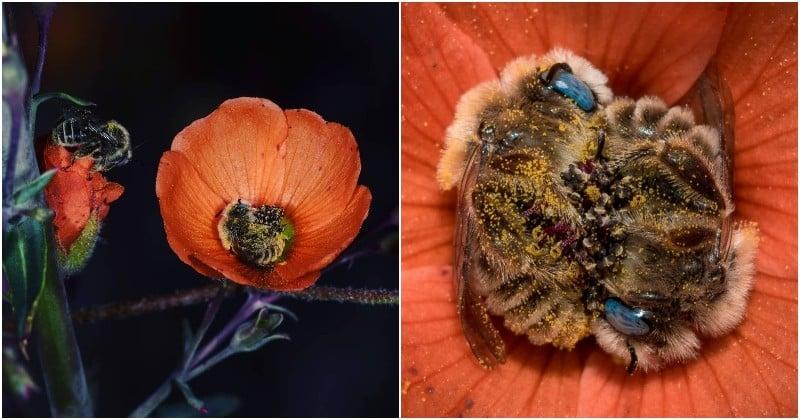 En Arizona, un couple de photographes capture des abeilles en train de dormir paisiblement dans des fleurs