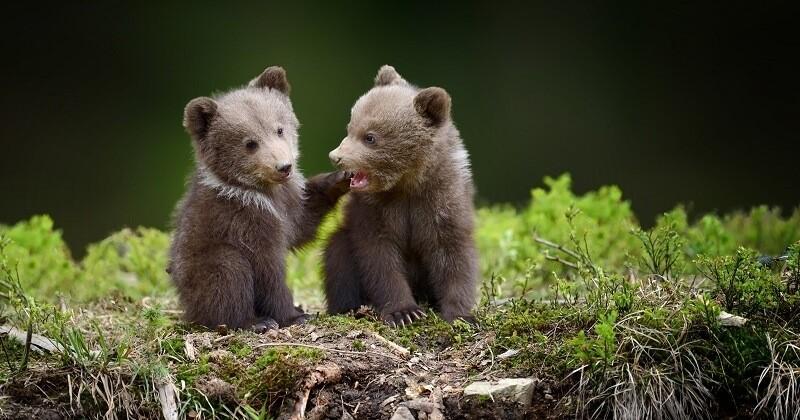 Dans les Pyrénées, au moins 10 oursons sont nés cette année et des images rares d'accouplement ont été capturées