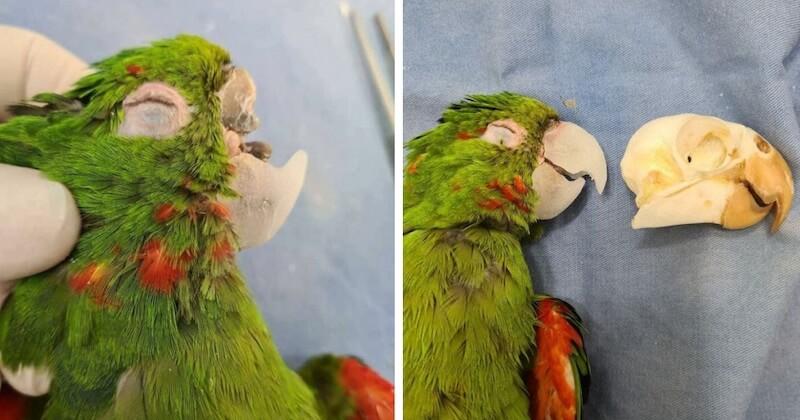 Au Brésil, des vétérinaires secourent un perroquet et lui reconstruisent son bec cassé