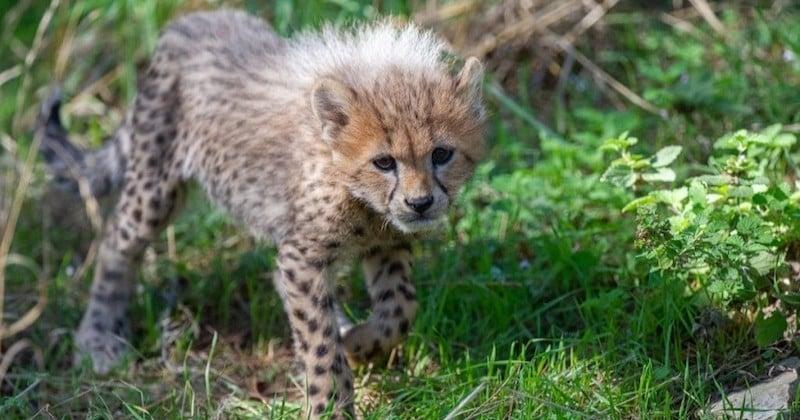 La réserve africaine de Sigean annonce la naissance rare de cinq bébés guépards