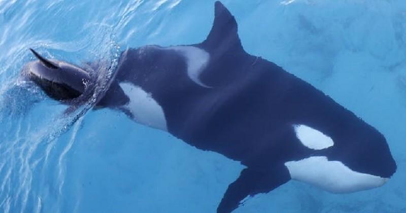 Après 17 jours de deuil, la femelle orque qui a ému le monde entier avec la dépouille de son bébé l'a enfin laissé partir