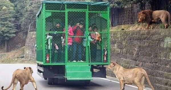 Découvrez le zoo le plus effrayant du monde où ce sont les humains qui sont en cage et les animaux en liberté... Frissons garantis !