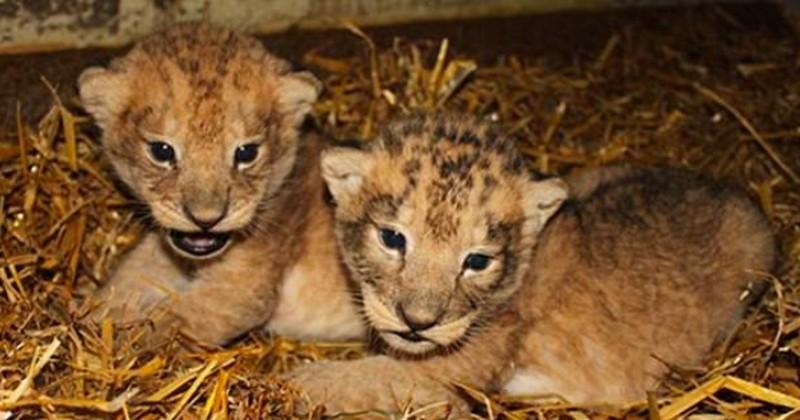 Un zoo avoue avoir mis à mort neuf lionceaux en parfaite santé « pour raisons pratiques » et assure qu'il n'hésitera pas à récidiver
