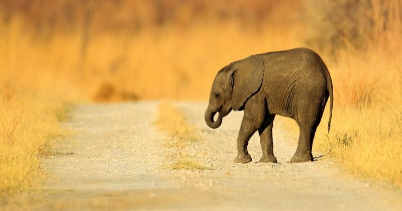 En Afrique, de plus en plus d'éléphants naissent sans défenses, une conséquence directe du braconnage