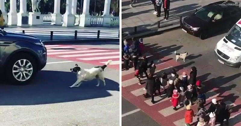 Un chien n'hésite à stopper la circulation pour aider les enfants à traverser la rue