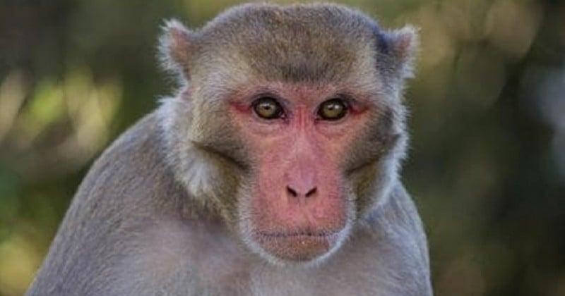 En Chine, des scientifiques implantent à des singes un gène de cerveau humain