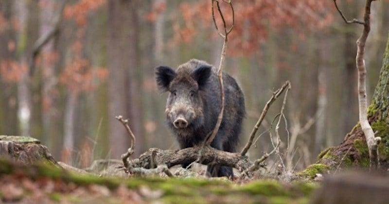 Dans les Ardennes, une partie de chasse vire au carnage avec 158 sangliers tués !