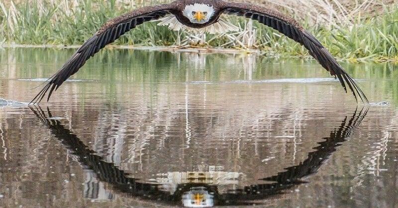 Un photographe capture un aigle à tête blanche au regard perçant et à la symétrie parfaite
