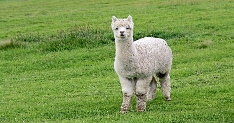Un lama retrouvé mort, l'oreille coupée et une joue mutilée dans le Lot-et-Garonne