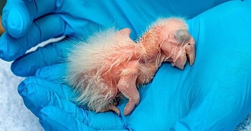 Trois bébés aras rouges sont nés à l'état sauvage en Argentine, une première depuis 150 ans