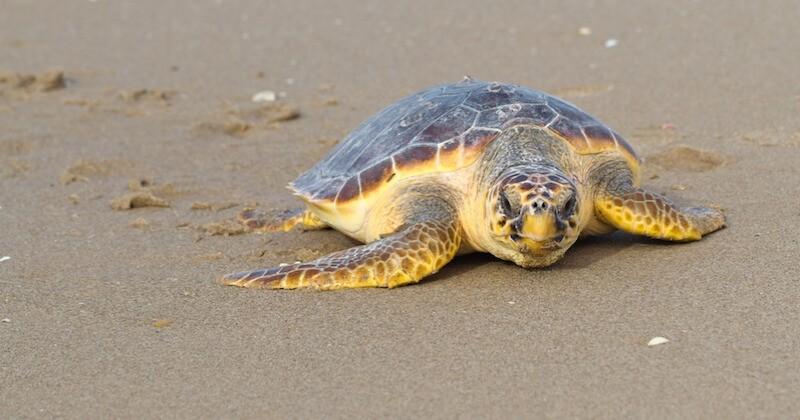 Fréjus : une tortue marine est venue pondre ses oeufs sur la plage des Sablettes