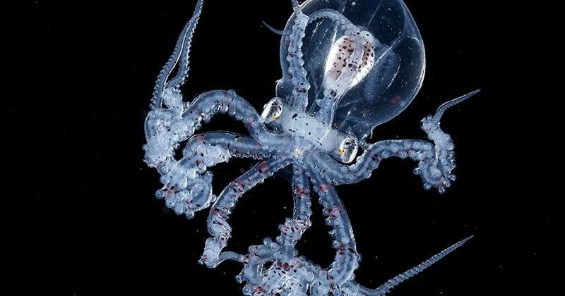Un photographe a capturé une magnifique pieuvre avec la tête transparente