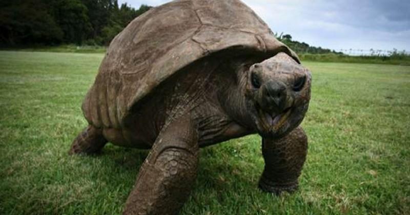 La tortue Jonathan, le plus vieil animal terrestre encore vivant est âgée de 187 ans