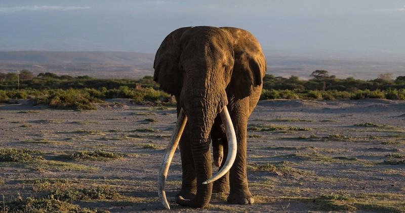 Kenya : Tim, l'un des derniers éléphants aux défenses géantes est mort à 50 ans