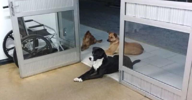 Un sans-abri admis à l'hôpital est attendu par ses chiens à la porte de l'hôpital