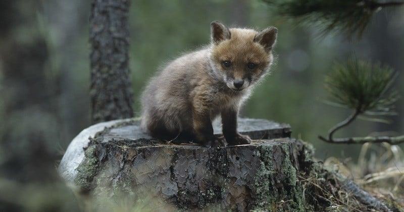 1 430 renards sauvés d'une mort certaine grâce à une décision de justice salvatrice