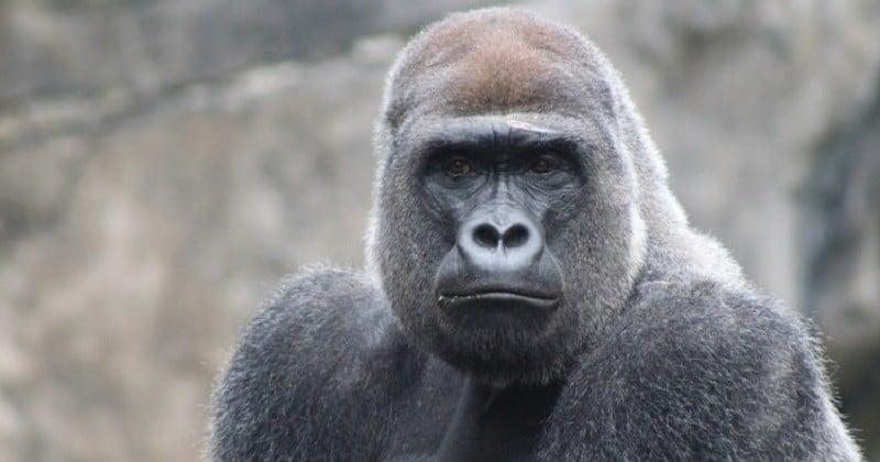 Coronavirus: les grands singes, nos plus proches parents génétiques, sont également menacés