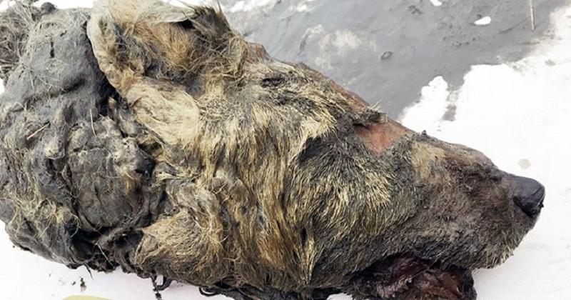 En Russie, découverte d'une tête de loup géant datant de 40 000 ans