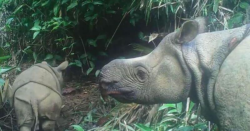Deux bébés rhinocéros de Java, une espèce en voie d'extinction, repérés dans un parc en Indonésie