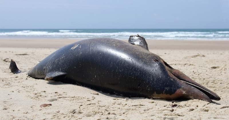 Piégés par les filets des chalutiers, des dauphins meurent et s'échouent sur les plages de l'Atlantique